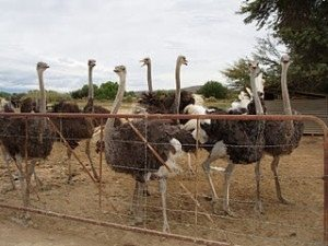 Como montar uma criação de avestruz: Dicas de Raças e Como Fazer