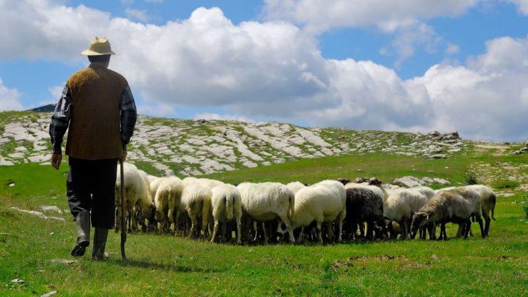 Como montar uma criação de carneiros: Investimento, Raças e Dicas