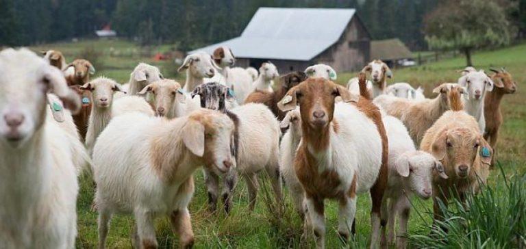 Como Ter uma Criação de Cabras e ganhar dinheiro
