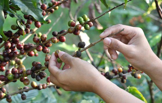 Como Investir em Uma Empresa de Secagem e Armazenamento de Café