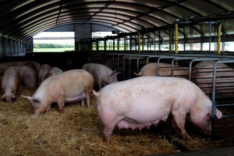 Criação de suínos 2021 [Guia Completo Passo a Passo para Iniciar]