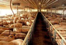 6 Passos de Sucesso Para Montar Uma Criação de Porcos