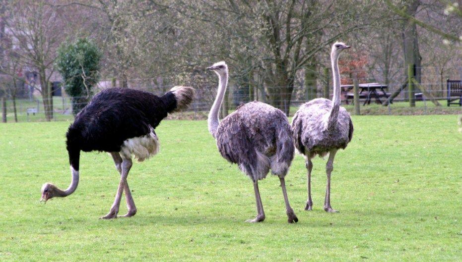 Como Ter Uma Criação de Avestruz