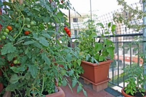 Plantação de Tomate