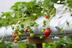 Plantação de morango