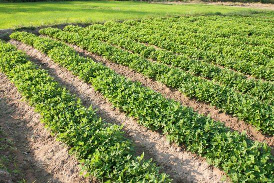 Plantação de Amendoim