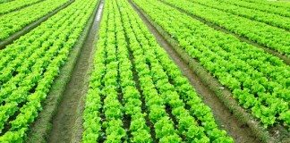 7 Dicas Eficientes de Como Plantar Alface