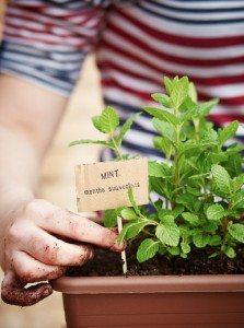 Como Plantar Hortelã