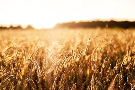 7 Dicas Importantes Sobre Como Plantar Milho