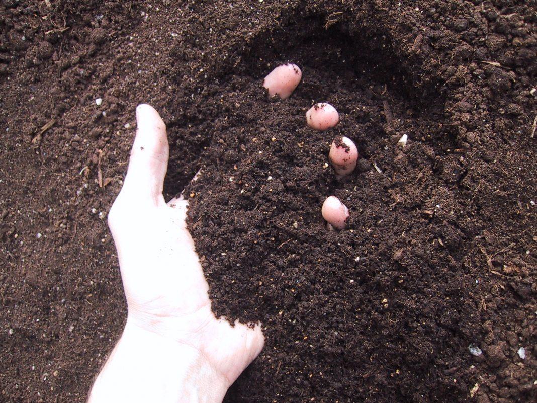 Passo a Passo Para Começar Uma Plantação de Girassol