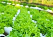 Como Iniciar um Plantio de Alface