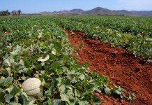 Como Começar Uma Plantação de Melão