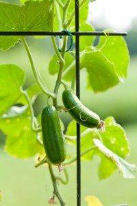 Como Iniciar Uma Plantação de Pepino